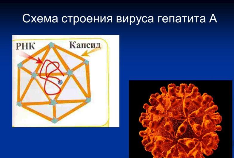 строение вируса гепатита А