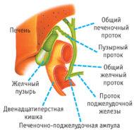 строение желчного пузыря